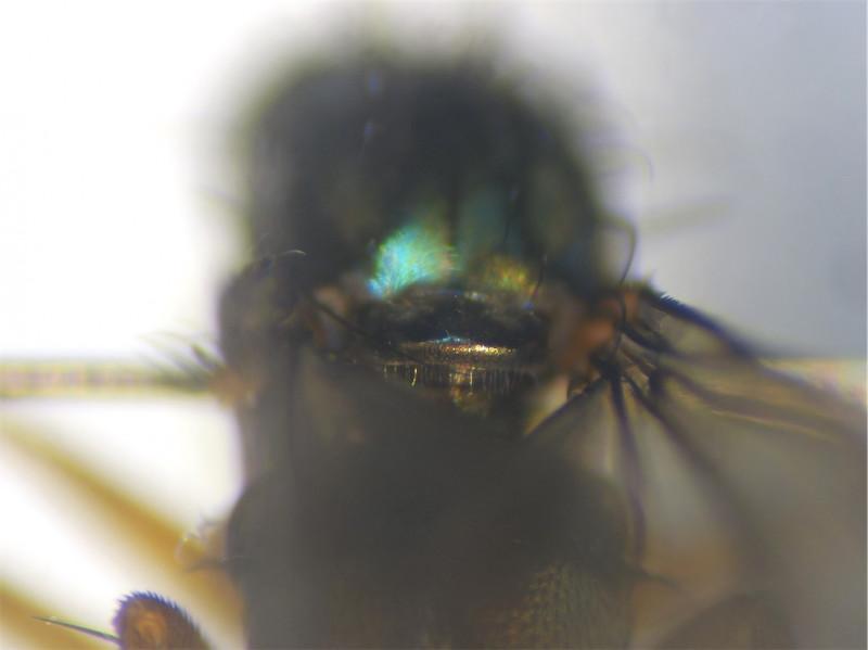 Dolichopus pennatus