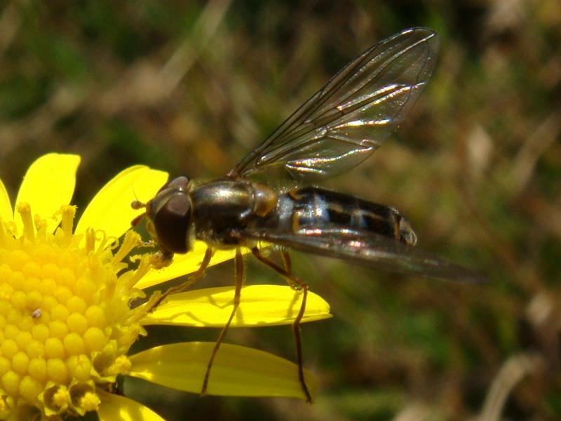 Episyrphus balteatus Snorzweefvlieg(f)