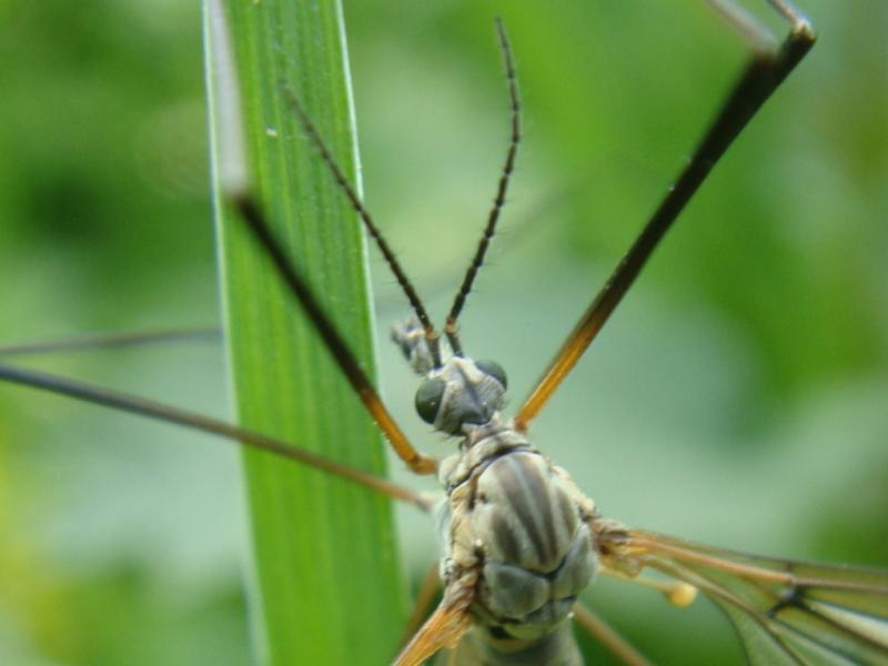 Tipula varipennis(m)
