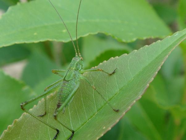 Phaneroptera falcata nimf