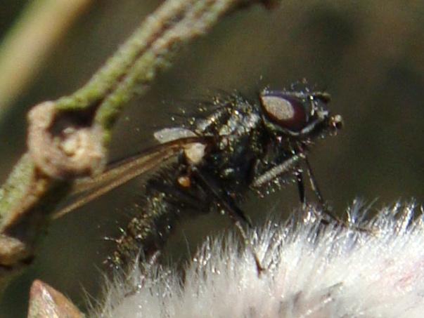 Egle ciliata(m)