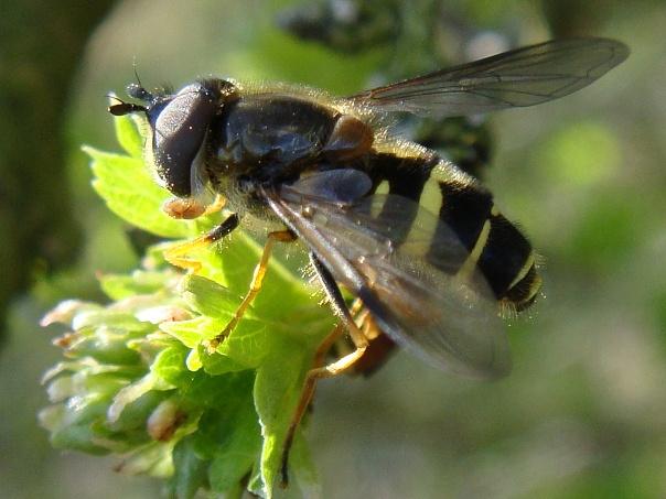 Dasysyrphus albistriatus Bretel-wimperzweefvlieg(m)