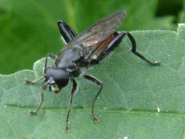 Brachypalpoides lentus Bloedrode bladloper(m)