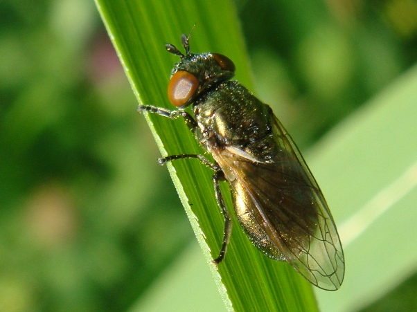 Lejogaster metallina Gewoon Glimlijfje(f)