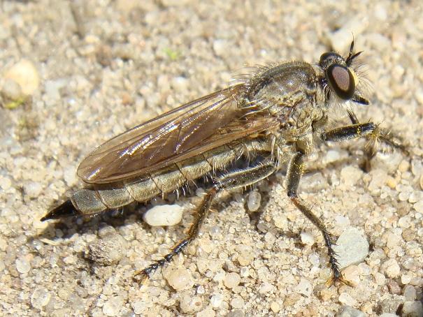 Machimus arthriticus(f)