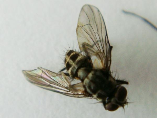 Limnophora maculosa(f)