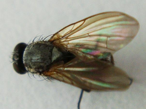 Emmesomyia socia(f)