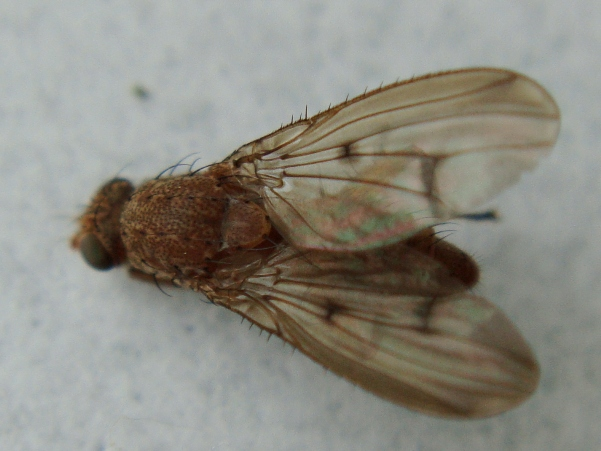 Suillia affinis
