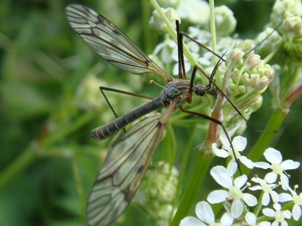 Tipula varipennis(m+f)