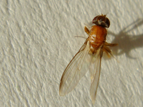 Chymomyza fuscimana