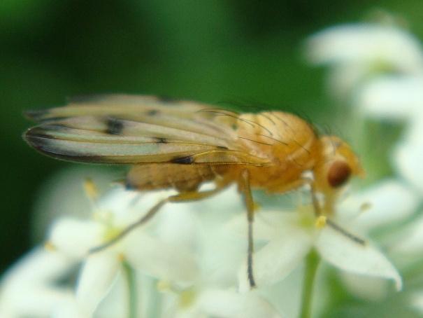 Palloptera quinquemaculata