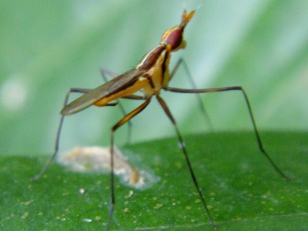 Telostylinus lineolatus