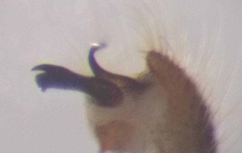 Ormosia hederae