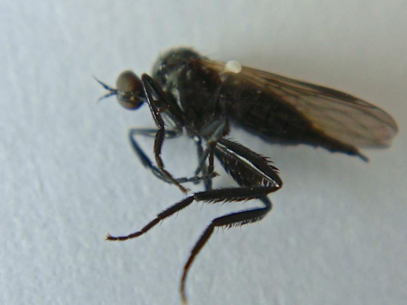 Rhamphomyia tarsata(f)