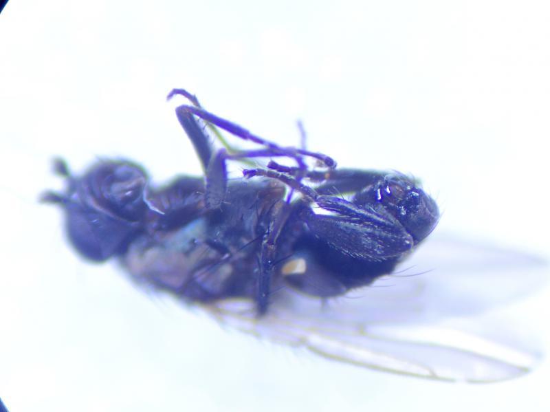 Rachispoda lutosoidea
