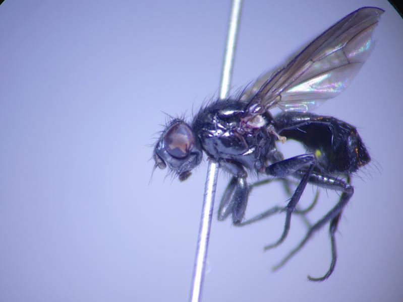 Phorbia moliniaris