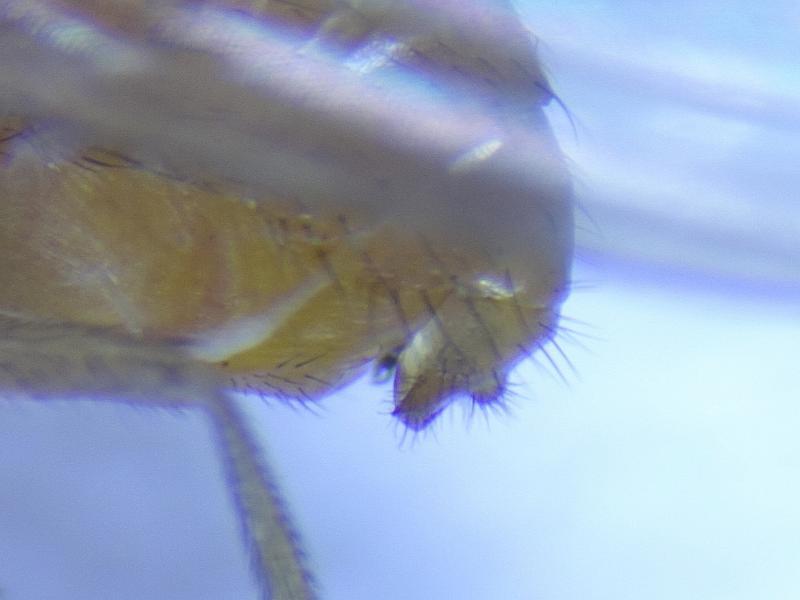 Meiosimyza subfasciata