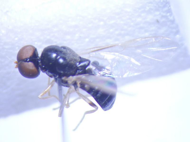 Pachygasterleachii