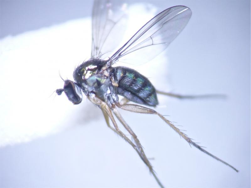 Dolichopus latilimbatus