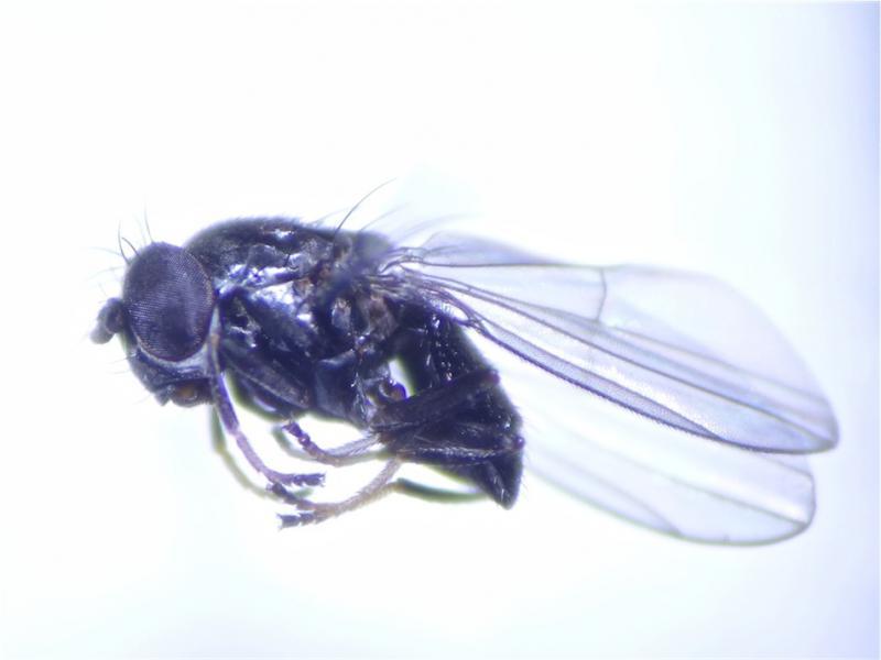 Ditrichophora calceata(f)