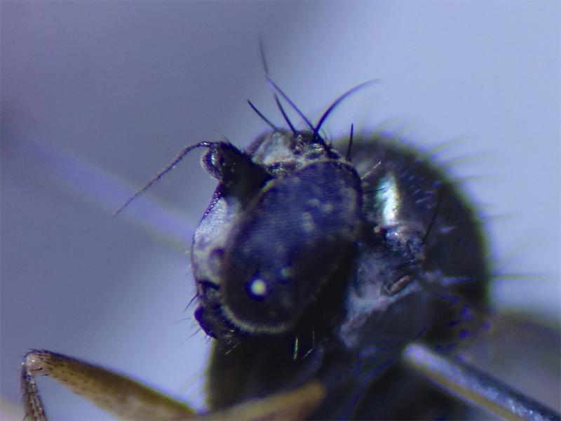 Gymnopternus metallicus