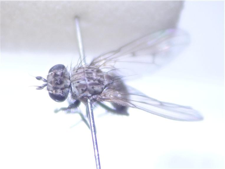Schoenomyza litorella(m)