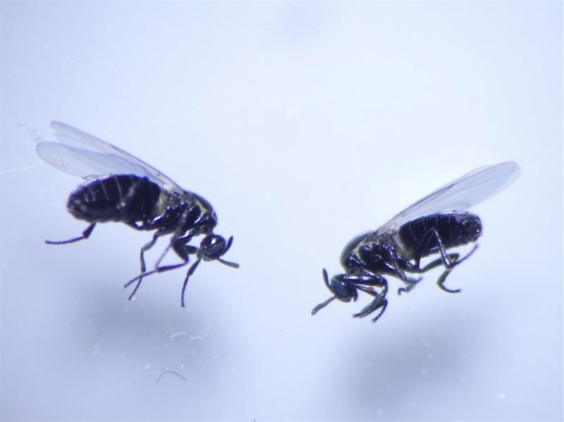 Scatopsidae indet.