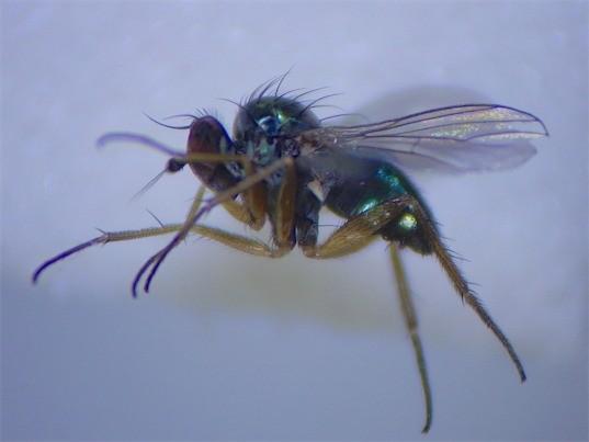 Chrysotus neglectus(m)
