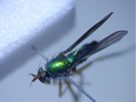 Poecilobothrus chrysozogus