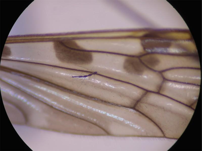 Metalimnobia quadrinotata