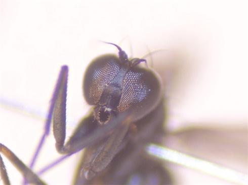 Campsicnemus pusillus