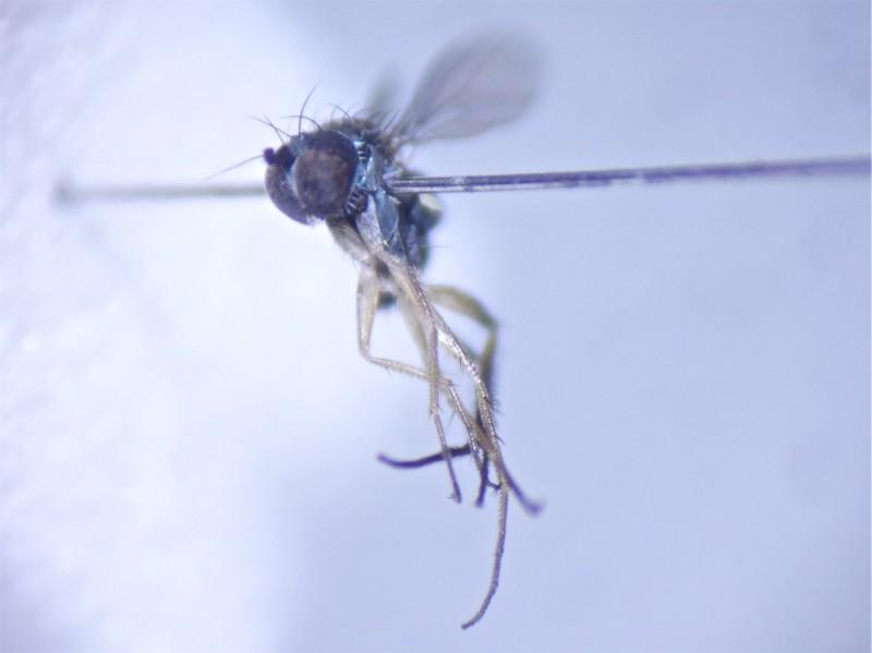 Chrysotus cilipes(f)