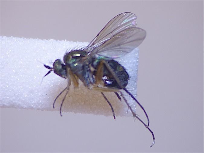 Dolichopus signatus
