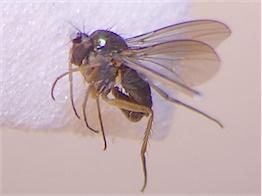 Gymnopternus brevicornis