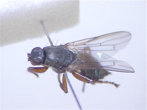 Coelopa frigida(f)
