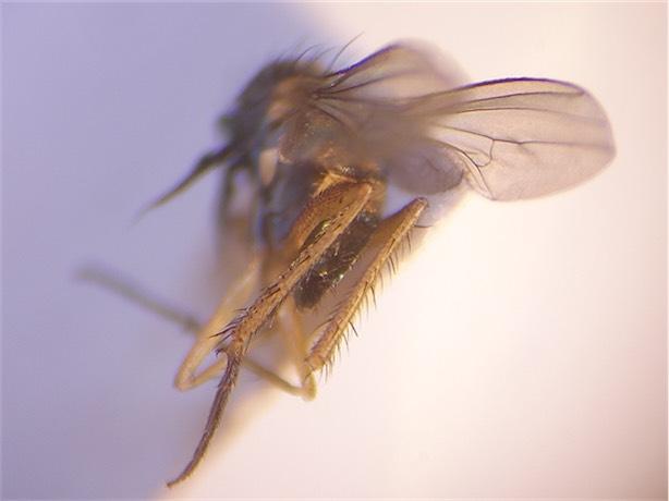 Syntormon pseudospicatum(m)