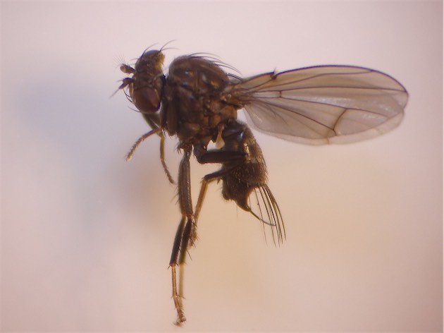 Notiphila caudata(m)