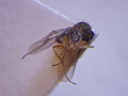 Teuchophorus calcaratus