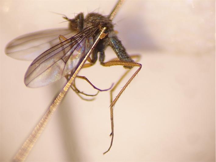 Campsicnemus marginatus