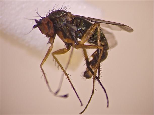 Dolichopus brevipennis(m)