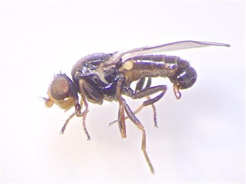 Dicraeus fennicus