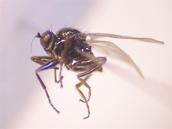 Crossopalpus spec.