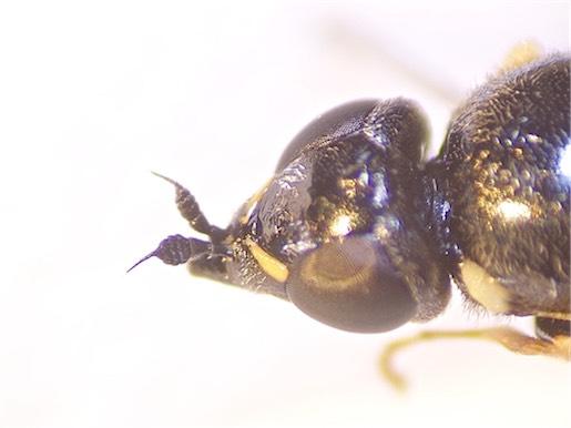 Nemotelus uliginosus