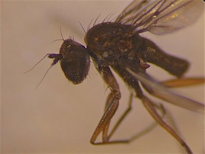 Campsicnemus loripes(m)