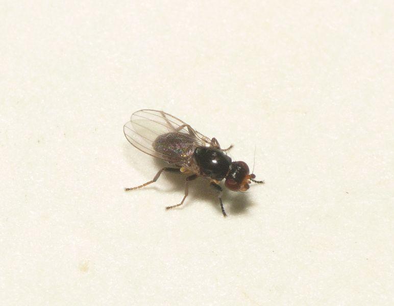 Pseudomyza atrimana