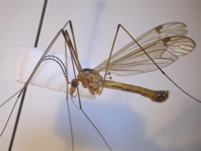 Nephrotoma dorsalis(m)