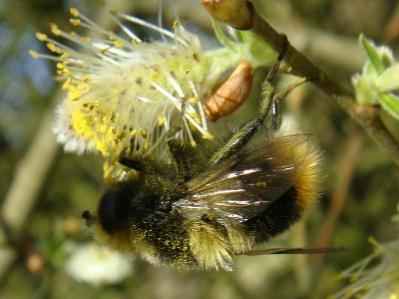 Mallota fuciformis Hommelmallota(m)