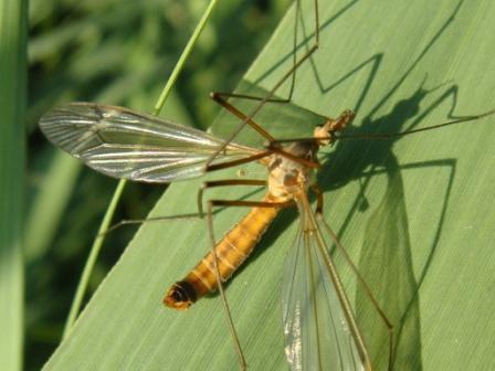 Tipula fascipennis(f)