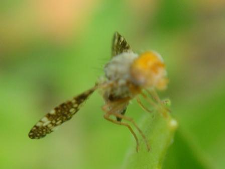 Oxyna flavipennis
