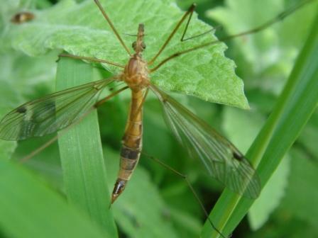 Tipula lunata(f)